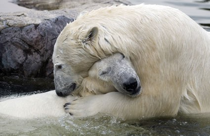 bill_lara_polar_bears_c-425x276